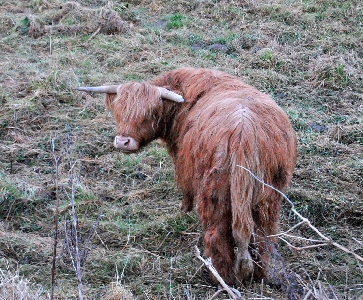 23_highlands_on_the_road_hairy_coos